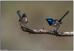 Superb Fairy Wrens (Mykel46) Tags: birds nature wildlife sony a9 100400mmgm bokeh background outside outdoors outdoor blue black small