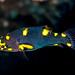 Blackbelt Hogfish, juvenile - Bodianus mesothorax