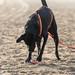 Schwarzer Labrador buddelt am Strand im Sand nach Frisbee