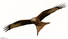 Red Kite (Steve (Hooky) Waddingham) Tags: animal countryside bird british nature northumberland flight prey wild wildlife