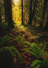 Light On Ferns (Travis Rhoads) Tags: washington mtrainiernationalpark copyright2018 travisrhoadsphotography trees mossytrees textures nikcollectionbygoogle nationalpark landscapephotography fog ferns tvc33 rrspcl01 bh55 sony1635f28gm sonyalphaa9ilce9 2018