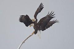 Bald eagles (Haliaeetus leucocephalus) in snowstorm 3 (rangerbatt) Tags: baldeagle haliaeetusleucocephalus eagle d7500 sigma150600mmsports utahwildlife bird wildutah baldeagleinflight eagleinflight bif birdinflight greatsaltlakewetlands explore