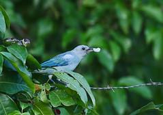 Thraupis episcopus (mazama973) Tags: bird oiseau frenchguiana guyane guyanefrançaise thraupidae thraupisepiscopus tangaraévêque bluegraytanager