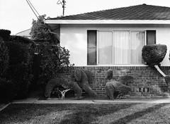 San Jose (bior) Tags: fujifilmga645zi ga645zi 6x45cm sanjose mediumformat 120 trix kodak lawn yard frontyard house home sculptedhedge sculptedbush