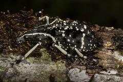 Anthribidae: Tophoderes frenatus (Kristof Zyskowski and Yulia Bereshpolova) Tags: anthribidae tophoderes frenatus madagascar