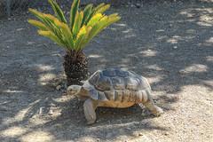 Qui va piano va sano !! (Philippe Garrigue) Tags: nature faune tortue animaux