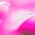 Dahlia Petals thumbnail