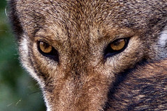 """""""To look into the eyes of a wolf is to see your own soul"""" - Aldo Leopold (ucumari photography) Tags: ucumariphotography redwolf wolf animal mammal canislupis nc north carolina zoo december 2018 dsc2752 specanimal"""