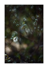 2019/1/19 - 2/15 photo by shin ikegami. - SONY ILCE‑7M2 / Carl Zeiss C Sonnar T* 1.5/50 ZM (shin ikegami) Tags: ミツマタ flower 花 macro マクロ 井の頭公園 吉祥寺 winter 冬 asia sony ilce7m2 sonyilce7m2 a7ii 50mm carlzeiss sonnar csonnar50mmf15 tokyo sonycamera photo photographer 単焦点 iso800 ndfilter light shadow 自然 nature 玉ボケ bokeh depthoffield naturephotography art photography japan earth