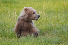 _2CD3561 (Hilary Bralove) Tags: lakeclarknationalparkbrownbearsbearsalaskanikonwildlifegrizzlygrizzlybearbrownbearanimalswildlifephotographer alaksa brownbears grizzlybears bear bears grizzly brownbeargrizzly bearlake clarkwildlifealaska wildlifenikonlake clark national park