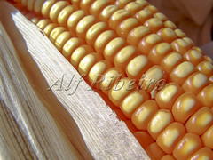 Alf 0006 - 0470 (Alf Ribeiro) Tags: agribusiness agriculture cereal closeup corn macro agricultural background breakfast cob cook cooking crop cuisine culture delicious diet ear eat farm food fresh freshness fruit golden grain harvest health healthy husk ingredient leaf maize meal natural nature nice nutrition organic plant raw ripe stem straw sweet tasty vegetable vegetarian vitamin yellow milho