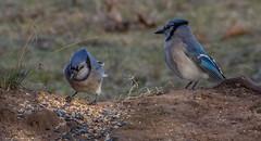 _DSC0087 (johnjmurphyiii) Tags: 06416 birds connecticut cromwell originalnef shelly tamron18400 usa wildlife winter yard johnjmurphyiii
