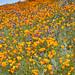 Annual California Golden Poppy Bloom Lake Elsinore, California