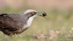 Grey-crowned Babbler (Pomatostomus temporalis) (Ian Colley Photography) Tags: greycrownedbabbler pomatostomustemporalis bird inverell newsouthwales australia canoneos7dmarkii ef500mmf4lisusm