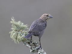 Female. Brown-headed Cowbird (Elizabeth Wildlife) Tags: brownheaded cowbird birds winter