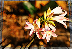 March Lily (PaulO Classic. ©) Tags: canon eos450d capetown glencairn marchlily ddg photoshop picmonkey ssc