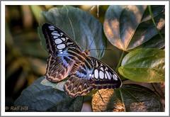 2019.01.14-DSC01767 (Ralf HB) Tags: 2019 botanika bremen insekten schmetterling tiere