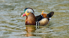 a mandarin on a lake (Franck Zumella) Tags: lake lac mandarin duck canard rainbow arc ciel arcenciel beau beautiful wonderful merveilleux bird oiseau nature wildlife gren blue rouge vert bleu color couleur feu artifice fireworks animal red sony a7s a7 tamron 150600 love lover lovers male female