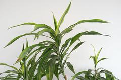 DSCF4639 (Mike Pechyonkin) Tags: 2019 moscow москва plant растение leaf лист