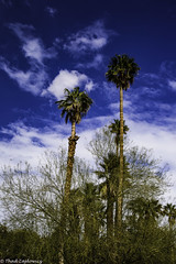 Desert Sky (Thad Zajdowicz) Tags: zajdowicz california usa travel canon eos 5dmarkiii dslr digital availablelight lightroom ef24105mmf4lisusm borregosprings nature color sky clouds palms trees plants flora blue green colour outside outdoors desert landscape