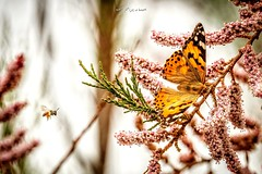The Bee 🐝 and the butterfly (ebrahemhabibeh) Tags: