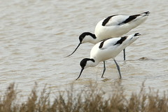 Avocet-7D2_2938-001 (cherrytree54) Tags: canon sigma 7d 150600 rye harbour east sussex avocet