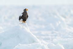 The Lone eagle on the winterland (BP Chua) Tags: japan hokkaido rausu iceberg eagle nature wild wildlife animal raptor d850 600mm nikon ice winter perch avian