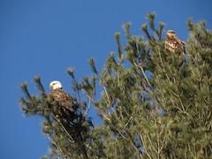 Turner's  Falls Bald Eagles (amyboemig) Tags: bald eagles pine tree turnersfalls ma winter march morning sunlight immature