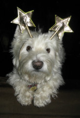 1/12A ~ Riley wishes everyone a very Happy New Year! (ellenc995) Tags: riley westhighlandwhiteterrier westie 12monthsfordogs19 happynewyear 2019 thesunshinegroup challengeclub thegalaxy coth alittlebeauty fantasticnature coth5 sunrays5 100commentgroup