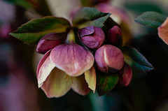 """""""H"""" is for Hope and Hellebores (Colormaniac too - Many thanks for your visits!) Tags: hellebore flower winterflower winter january buds newbeginnings bloom garden hope botanical perennial pacificnorthwest sequim washingtonstate olympicpeninsula topazstudio netartll hss"""