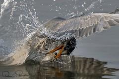 IMG-20171229-WA0027 (TARIQ HAMEED SULEMANI) Tags: sulemani tariq tourism trekking tariqhameedsulemani winter wildlife wild birds nature nikon