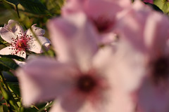 Rose 'Dainty Bess' raised in UK (naruo0720) Tags: rose englishrose daintybess englishrosescollection バラ イギリスのバラ デンティベス ブリティッシュローズ イギリスのバラコレクション nikonscamera d610 sigmalenses sigma150mmf28exdghsm britishrosescollection