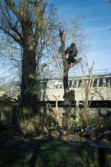 2019-01-18-12h41m58.IMG_3358 (A.J. Haverkamp) Tags: akili bembosi canonefm1855f3556isstmlens amsterdam zoo dierentuin httpwwwartisnl artis thenetherlands gorilla pobfrankfurtgermany dob16101994 boom tree pobamsterdamthenetherlands dob31052011