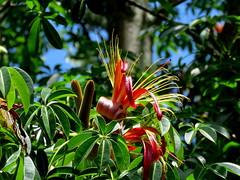 gorgeous flowers (Grenzeloos1) Tags: adansoniamadagascariensis adansonia mcbgb