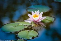 Fauna_Flora_8734 (Lothar Heller) Tags: lotharheller fauna flora frog frosch pflanze seerose