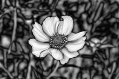 Космея (prokhorov.victor) Tags: цветок цветы растения флора сад природа лето макро