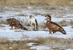 February 12, 2019 - Hawks and eagles squabble over a meal. (Bill Hutchinson)