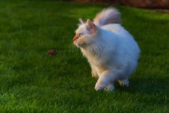 Out for a walk (FocusPocus Photography) Tags: tofu dragon katze kater cat chat gato tier animal haustier pet rasen lawn garten garden gras grass