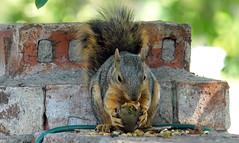 1 Eating A Green Pecan (Kaptured by Kala) Tags: sciurusniger foxsquirrel squirrel garlandtexas pecan closeup outsidemywindow brickwall eating feeding greenpecan unripepecan
