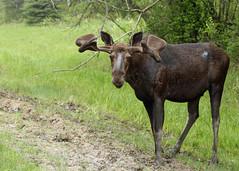 Bull Moose...#12 (Guy Lichter Photography - 4.7M views Thank you) Tags: canon 5d3 canada manitoba rmnp wildlife animals mammal mammals moose bull male