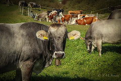 Cows in Switzerland (TMStorari) Tags: cows mucche animals portrait primo piano herd cow beef animali mountains pascolo switzerland svizzera schweiz alpi montagna valposchiavo poschiavo grigioni