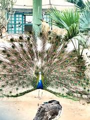 #peacock #bird #zoo (Usman.Anwar) Tags: peacock bird zoo