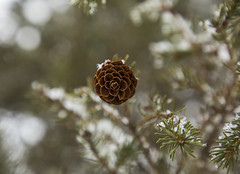 Frozen Pines (Matt Champlin) Tags: lordhuron pines pinecone tree life nature outdoors winter beautiful peaceful quiet woods woodland hike hiking landscape canon 2019