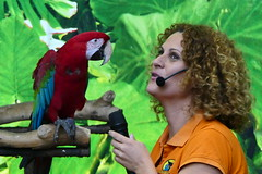Green Winged Macaw [6] (Ian R. Simpson) Tags: greenwingedmacaw macaw parrot bird loroparque zoo tenerife canaryislands spain puertodelacruz lady trainer handler