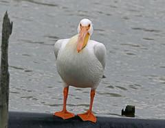 American White Pelican (1krispy1) Tags: pelican americanwhitepelican texasbirds