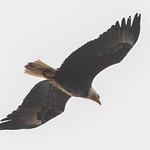 Bald Eagle in Flight thumbnail