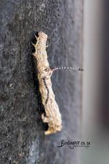 Unkown Catteplillar, Timbavati, Kruger National Park, Jan 2019 (roelofvdb) Tags: 2019 date january knp moth mothsofsafrica place satara year unknowncatteplillar