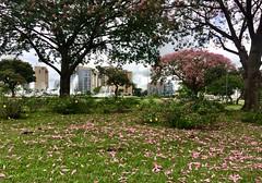 Fall flowers  .  .  . (ericrstoner) Tags: silkflosstree ceibaspeciosa malvaceae brasília distritofederal paineira flowers flores petals pétalas