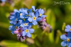 Forget_Me_Not-3 (dandridgebrian) Tags: springflowers flower garden