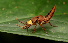 Rove beetle, Glenus sp., Staphylinidae (Ecuador Megadiverso) Tags: andreaskay beetle coleoptera ecuador rovebeetle staphylinidae glenus